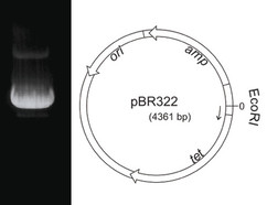 Plasmide DNA pBR322